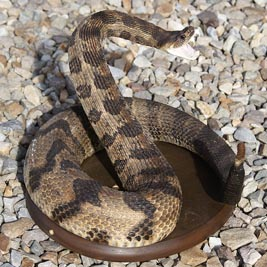 Coiled Rattler