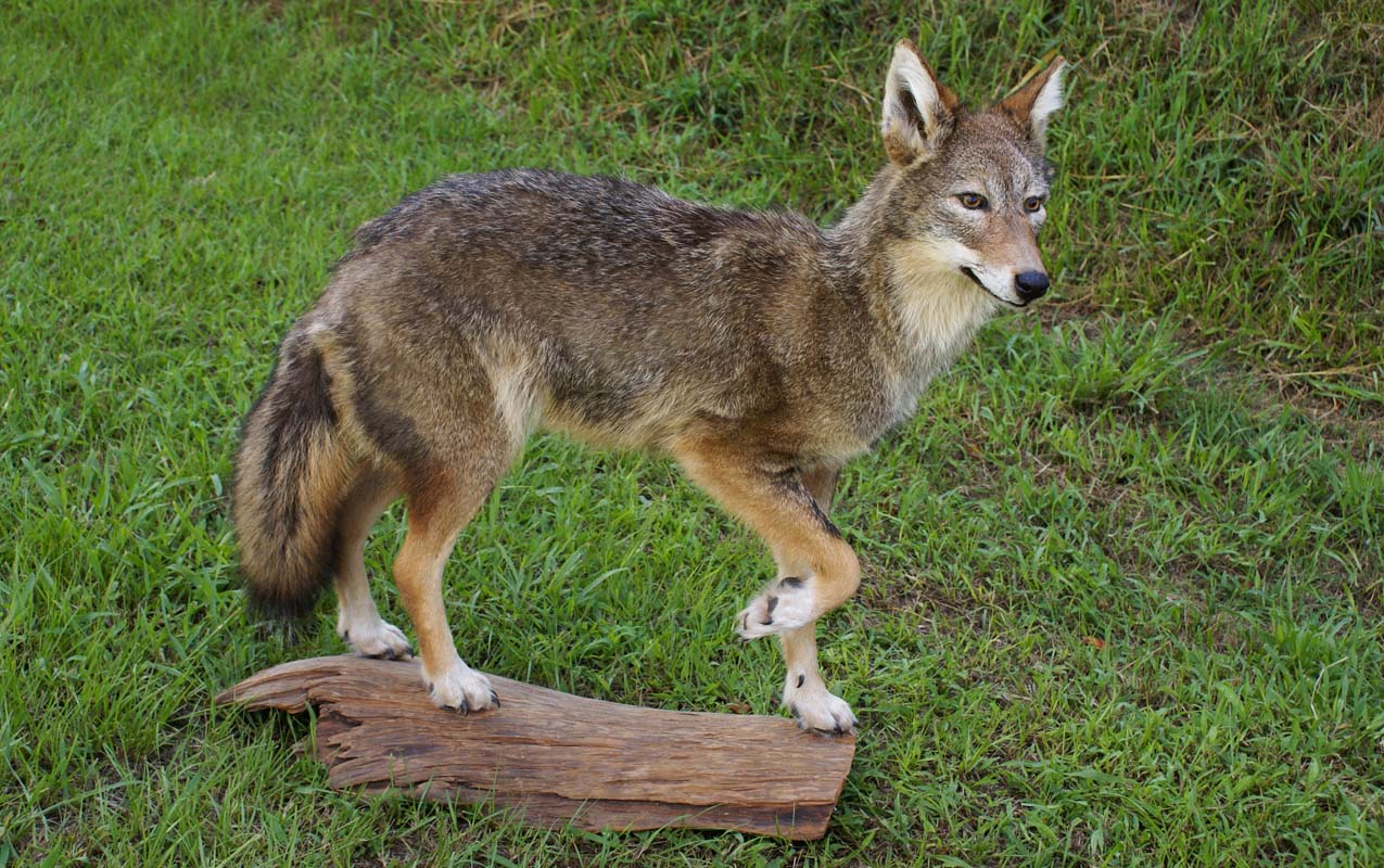 Coyote hide prices apexwallpapers com