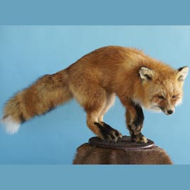 Fox perched