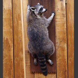 3054 raccoon