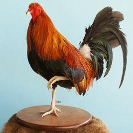 Red Rooster on One Foot