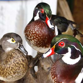 three wood ducks_close